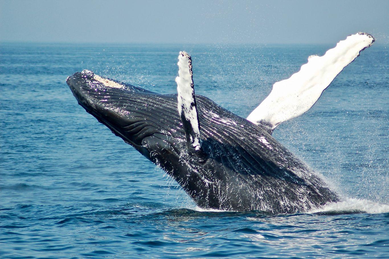 Temporada de baleias no litoral brasileiro começou